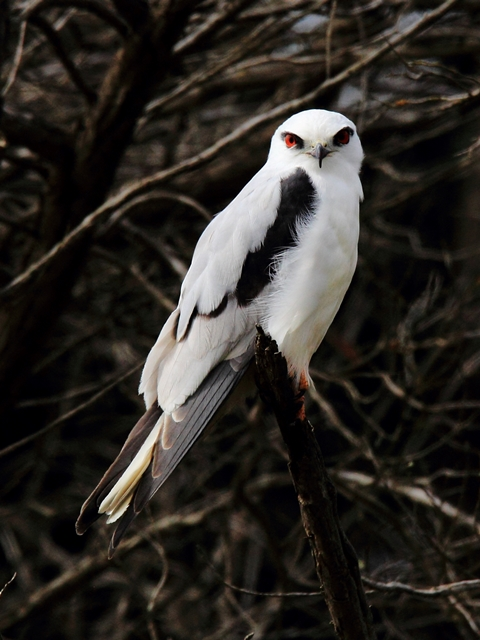 Fig. 27. Black-shouldered Kite