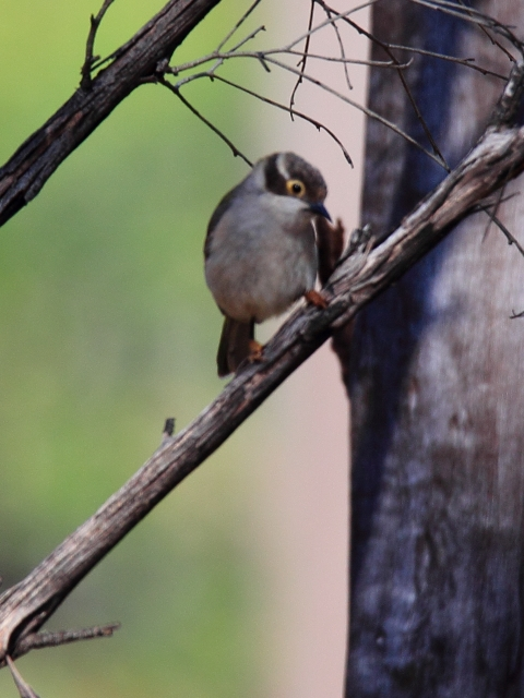 Fig. 38. Brown-headed Honeyeater - the last bird recorded during the Twitchathon at 1559