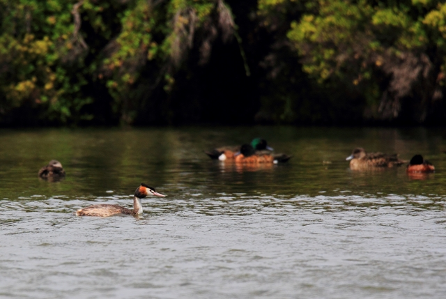 Fig. 18. Crested Grebe and Grey/Chestnut Teals (background)