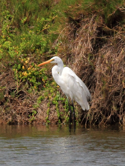 Fig. 22. Great Eastern Egret