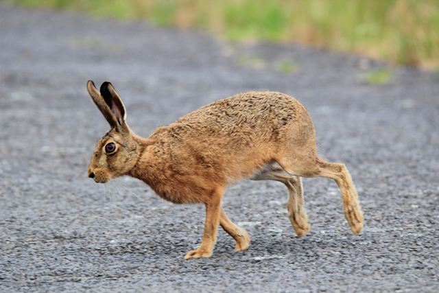 Fig. 2. A hare interrupting birding