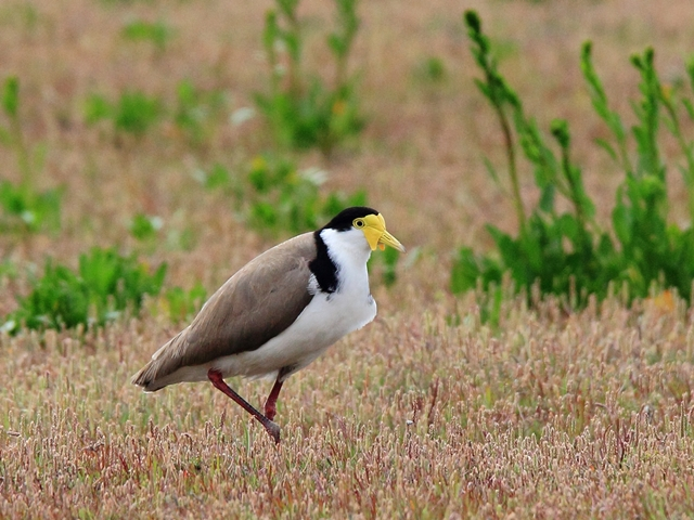 Fig. 10. Masked Lapwing