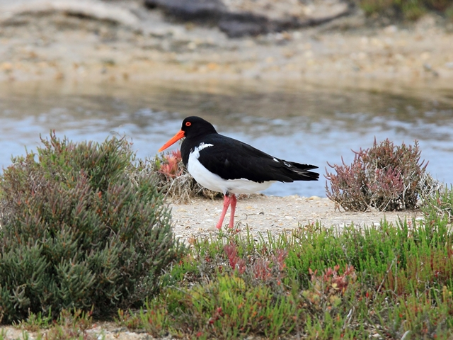 Fig. 11. Pied Oystercatcher