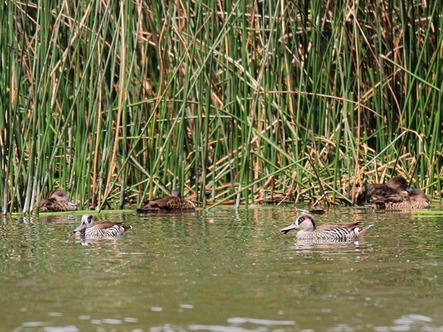 Fig. 12. Pink-eared Ducks and Grey Teals (background)