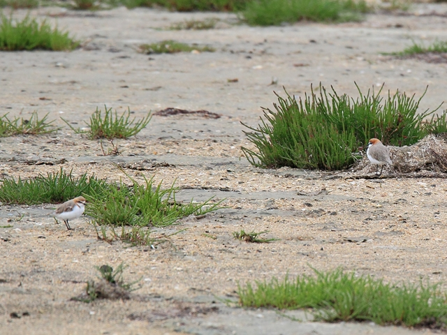 Fig. 13. Red-capped Plovers