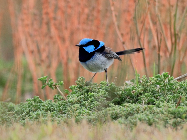 Fig. 6. Superb Fairywren