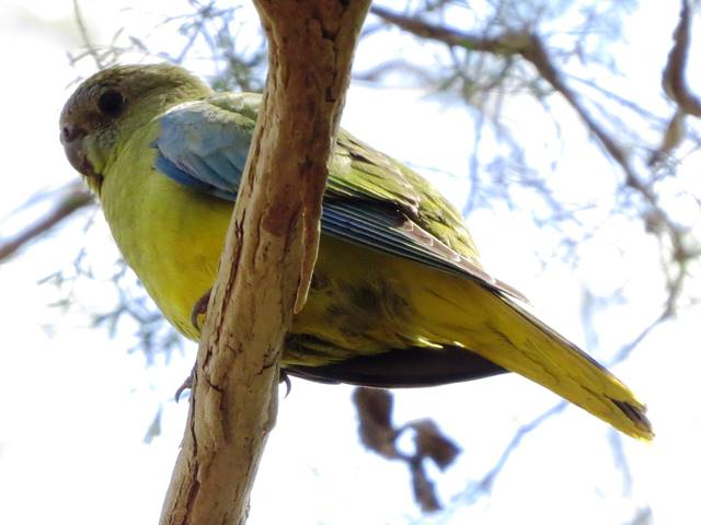 Juvenile Scarlet-chested Parrot escapee