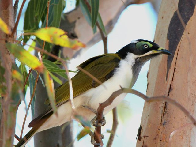 Blue-faced Honeyeater (juvenile)