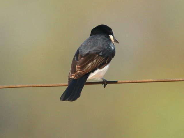 Rear view of a Restless Flycatcher