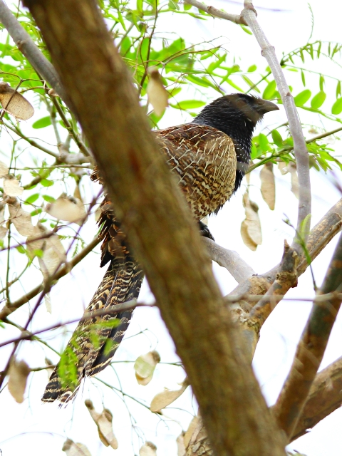 coucal-5
