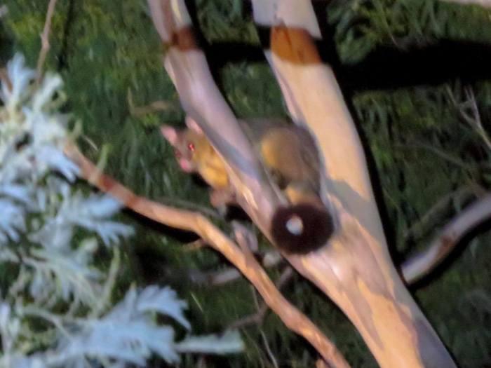 Brush possum